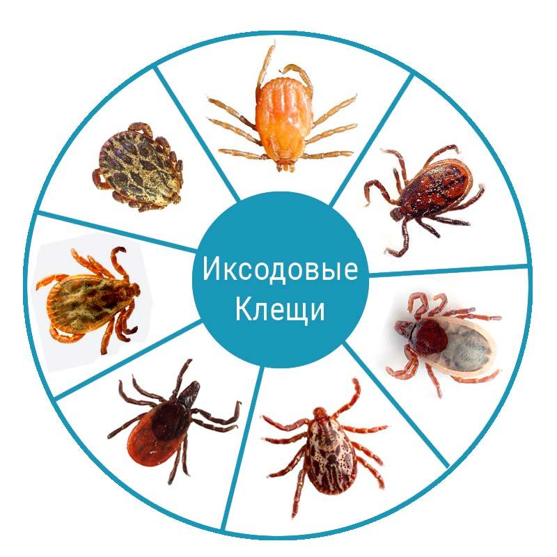 iksodovye-kleschi